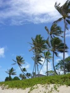 Oahu Palm trees