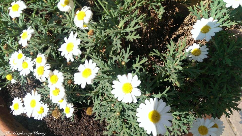 Sunshine on a Daisy